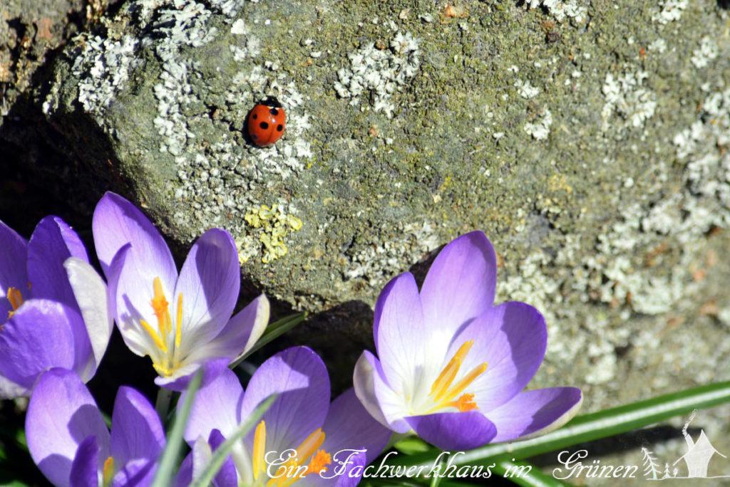 Krokusse als Frühblüher im Garten helfen Bienen und Hummeln.