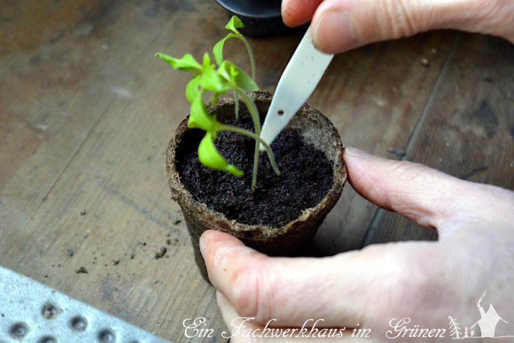 Tomaten aus Samen ziehen. Die einzelnen Pflanzen werden pikiert.