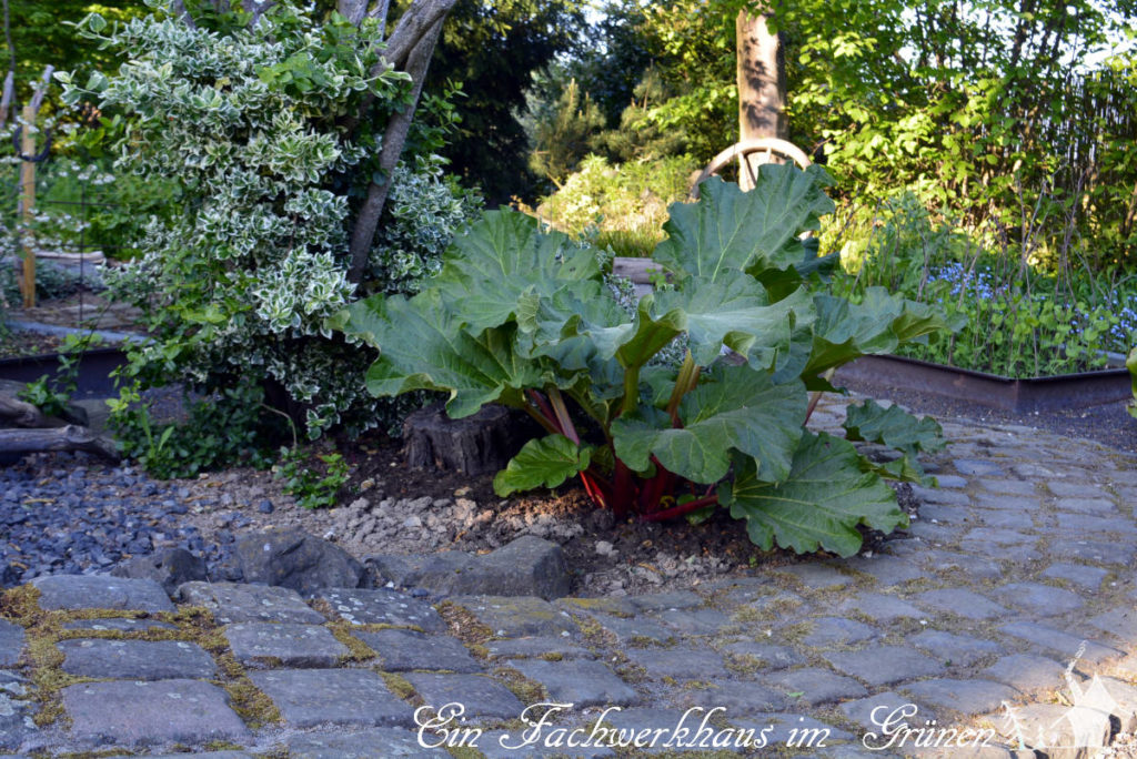 Rhabarber in unserem Garten. Der Boden ist sehr lehmig und nicht optimal.