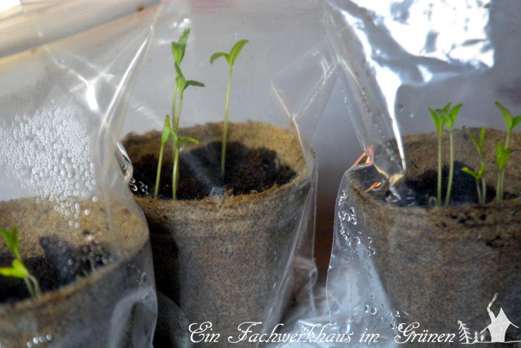Tomaten aus Samen selbst ziehen.