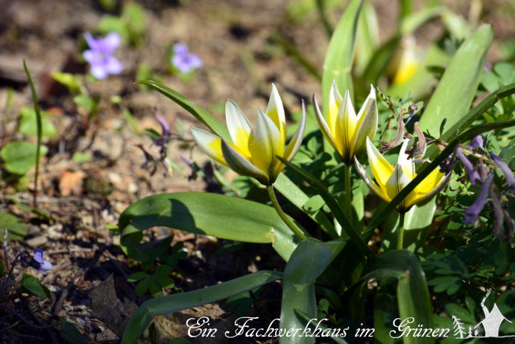 Die Zwerg Stern Tulpe 'Tulips Tarda' mit ihren schönen, sternförmigen Blüten.