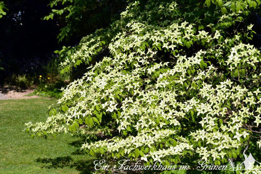 Japanischer Blumenhartriegel (Cornus kousa subsp. kousa)