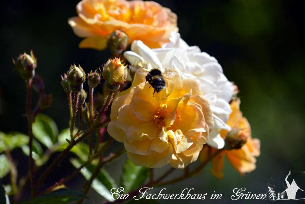 Ein Insekt fliegt die Blüten einer Rose an.